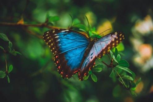 Обои Голубая бабочка на ветке, фотограф Shimul Mohammad