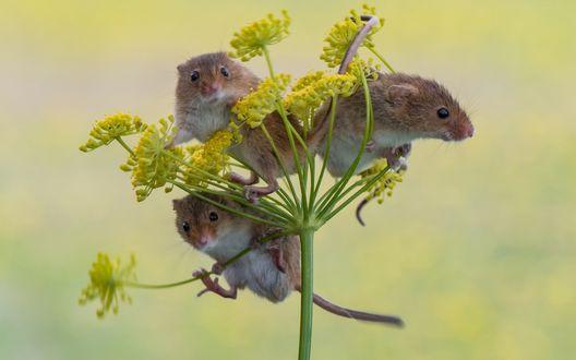 Обои Мышки полевки на зонтике укропа