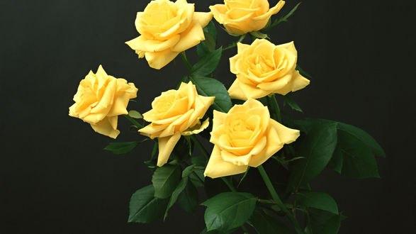 Обои Желтые розы на черном фоне