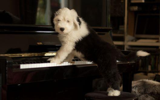 Обои Щенок возле пианино