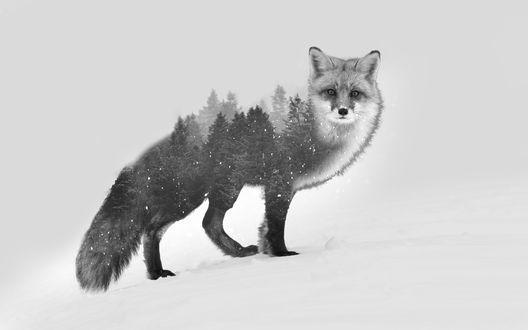 Обои Стоящая на снегу черно-белая лиса, сквозь которую виден зимний лес