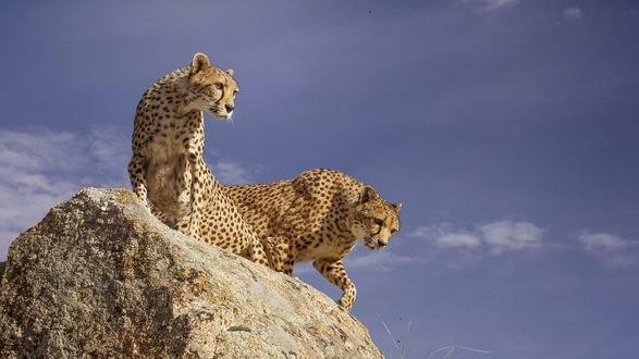 Обои Гепарды на камне, фотограф Carlos Santero