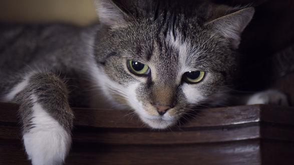 Обои Серый кот с зелеными глазами, распластался и внимательно следит за чем-то