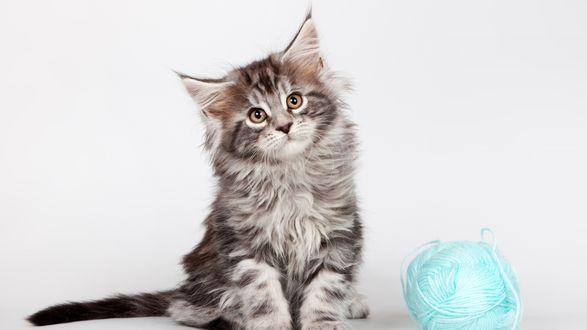 Обои Пушистый котенок мейн куна сидит возле клубка голубых ниток