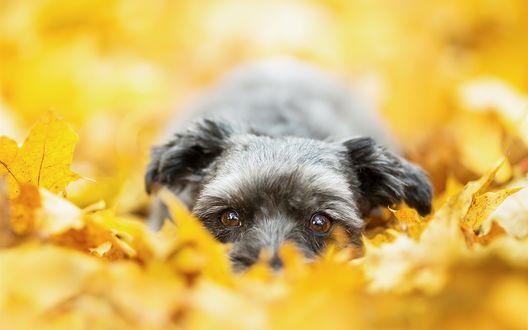 Обои Щенок лежит в осенних листьях