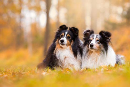 Обои Собаки породы колли и шелти лежат на траве