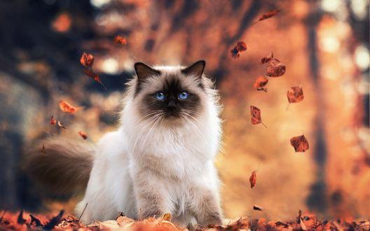 Обои Сиамский кот сидит в осенних листьях