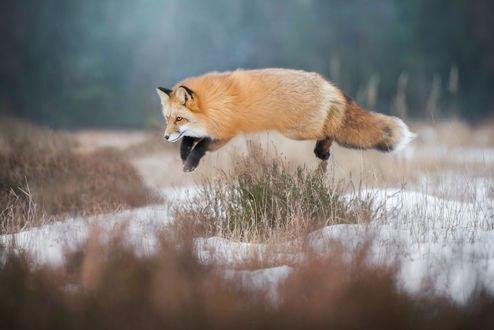 Обои Лиса в прыжке, на охоте, фотограф Iza Lyson