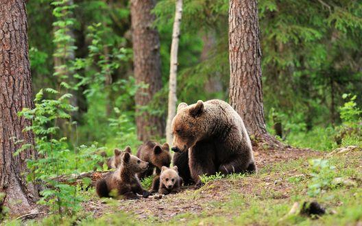 Обои Мама медведица с медвежатами в лесу