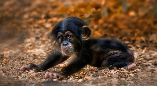 Обои Симпатичный шимпанзе лежит на земле