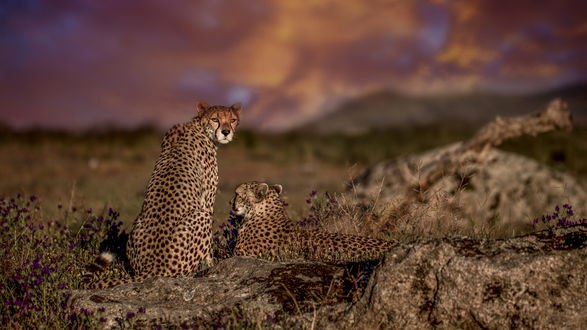 Обои Леопарды на природе, фотограф Carlos Santero