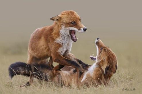 Обои Дерущиеся две лисы, фотограф Arno van Zon
