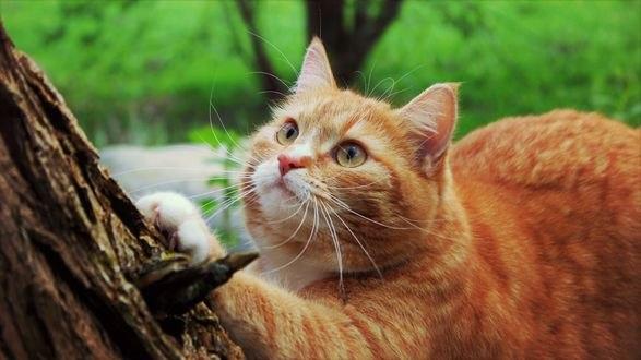 Обои Рыжая кошка точит коготки об дерево