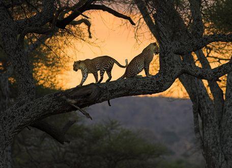 Обои Леопарды сидит на дереве