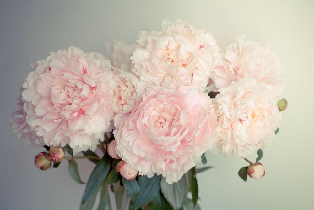 Обои для рабочего стола Букет нежно-розовых пионов на сером фоне