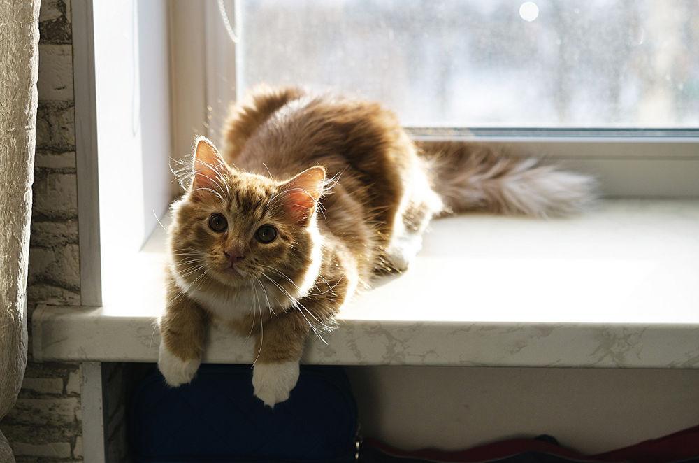 Обои для рабочего стола Пушистая кошка лежит на подоконнике