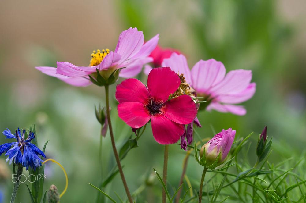 Обои для рабочего стола Розовая космея и другие полевые цветы, фотограф edithnero