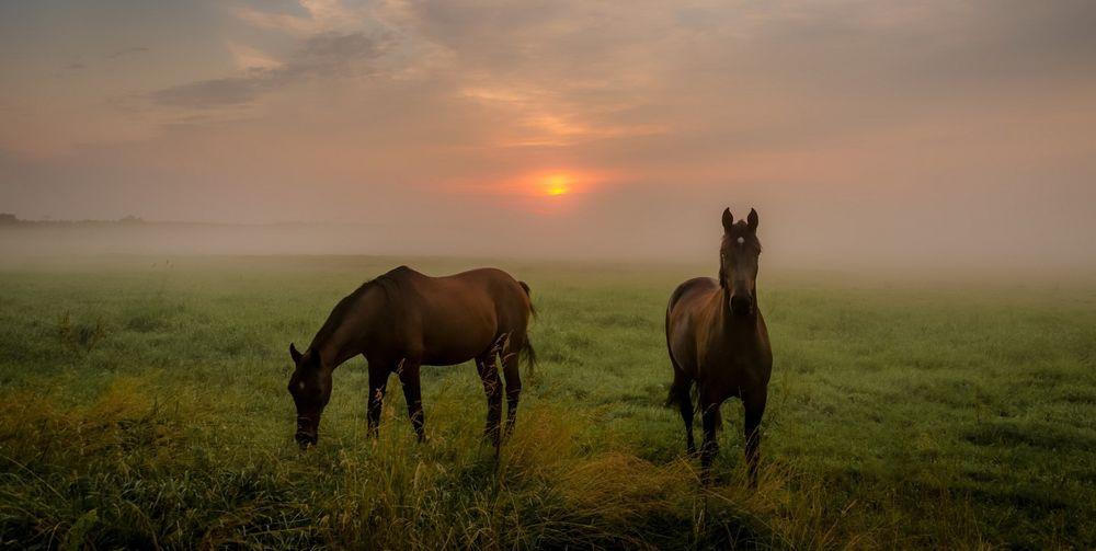 Обои для рабочего стола Ранее утро, лошади пасутся в поле, фотограф Still Believen