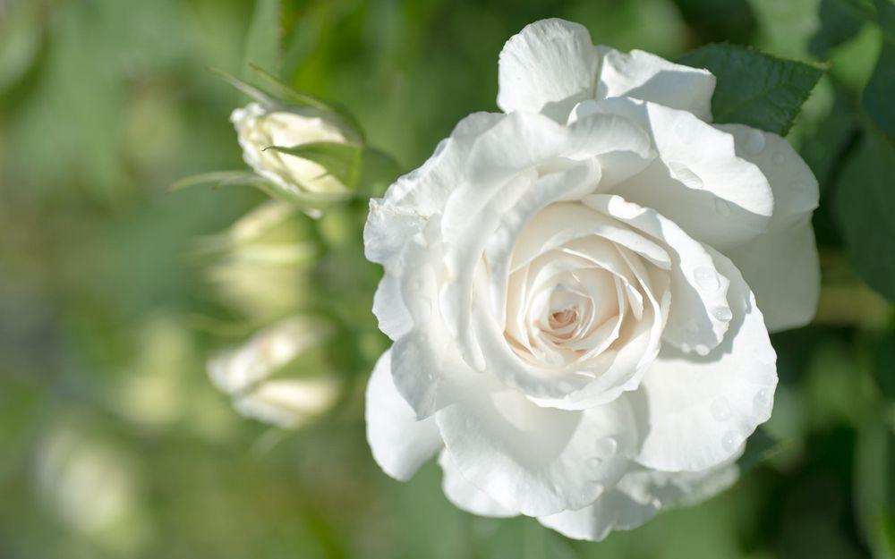 Обои для рабочего стола Бутон белой шикарной розы в капельках росы