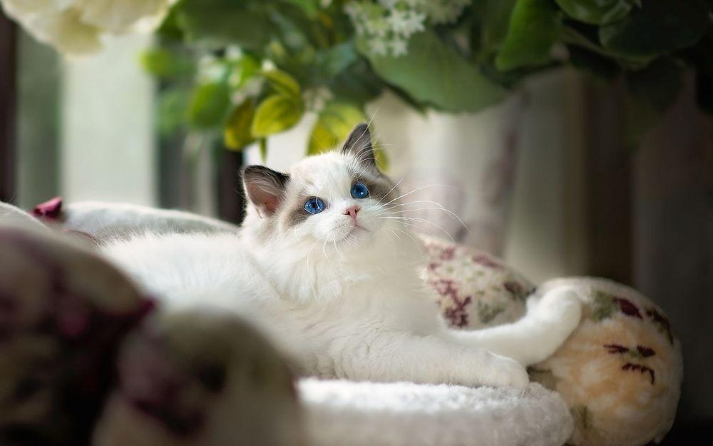 Обои для рабочего стола Белый голубоглазый кот породы рэгдолл лежит в лежанке на фоне цветов в вазе