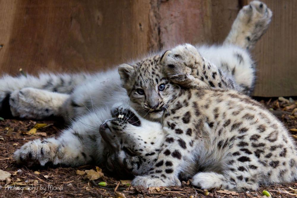 Обои для рабочего стола Играющие на земле леопарды, фотограф Digi-Mona