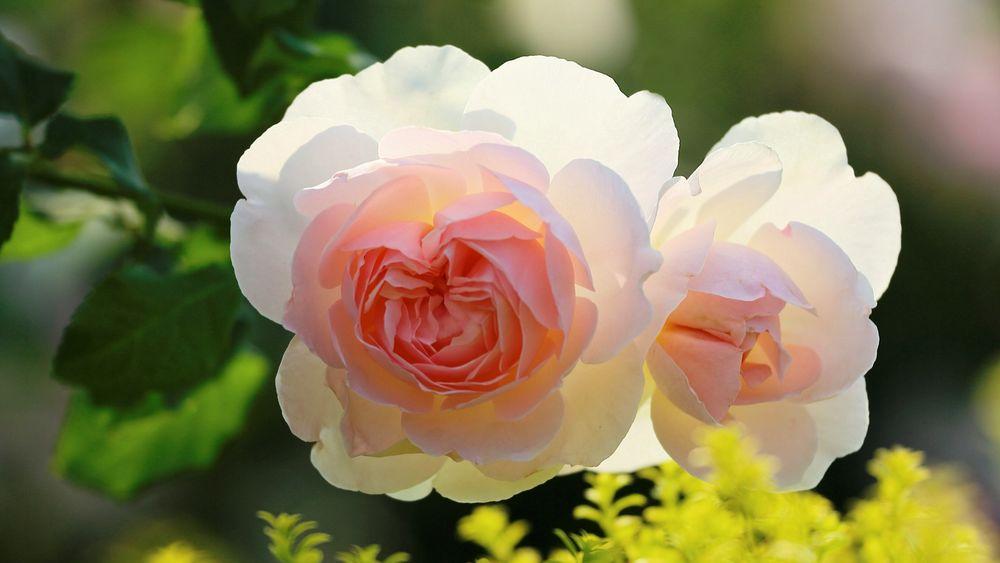 Обои для рабочего стола Нежно розовые розы макро