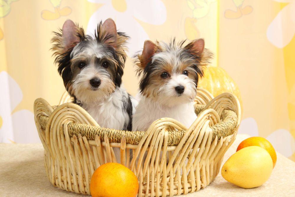 Обои для рабочего стола Два милых щенка бивер-йорка сидят в плетеной корзине среди фруктов