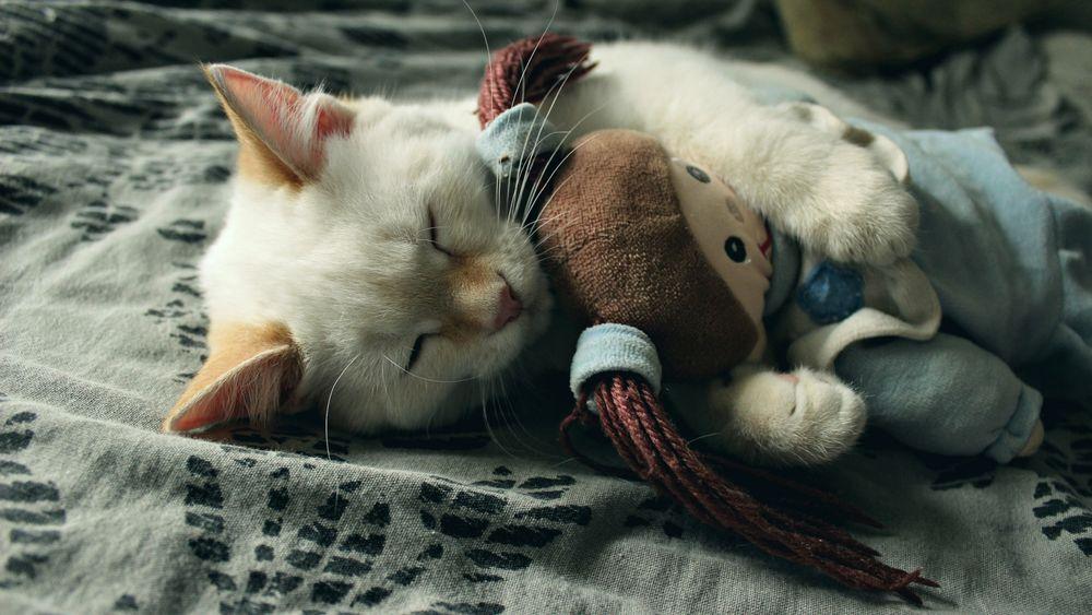 Обои для рабочего стола Маленький белый котенок спит в обнимку с мягкой игрушкой