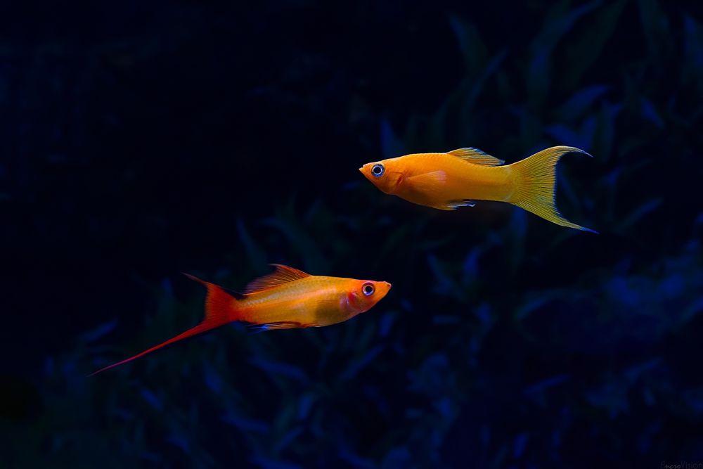 Обои для рабочего стола Пресноводные аквариумные рыбы под водой, автор EncroVision