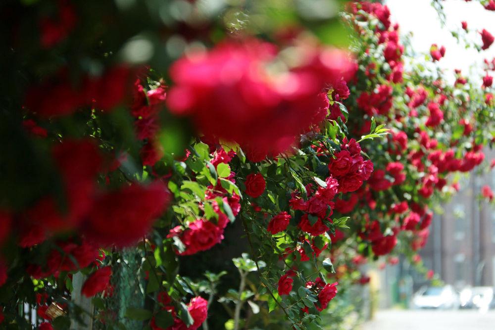 Обои для рабочего стола Кусты роз на заборе, фотограф tinayang200