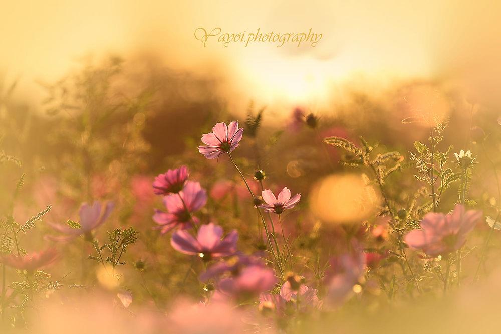 Обои для рабочего стола Цветы космеи на размытом фоне. Фотограф Yayoi. Sakurai