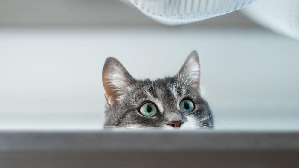Обои для рабочего стола Выглядывающая мордочка кота. Фотограф Роман Алябьев
