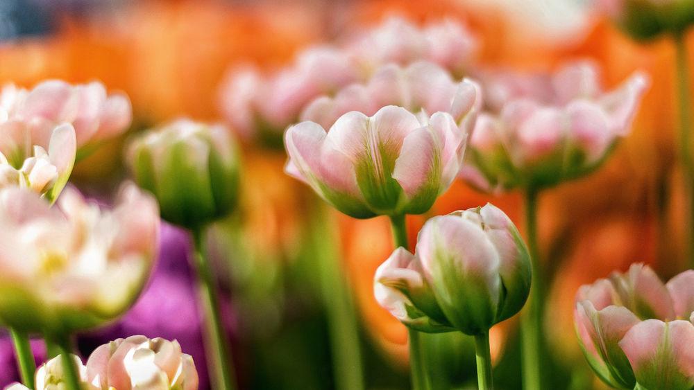 Обои для рабочего стола Розовые тюльпаны на размытом фоне, фотограф Роман Алябьев