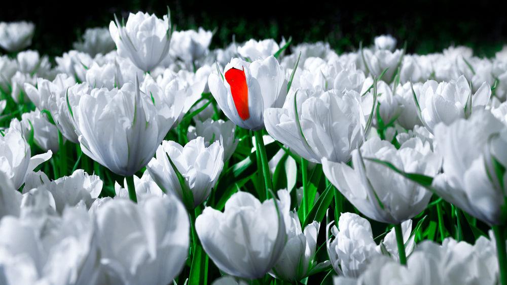 Обои для рабочего стола Белые весенние тюльпаны, фотограф Роман Алябьев