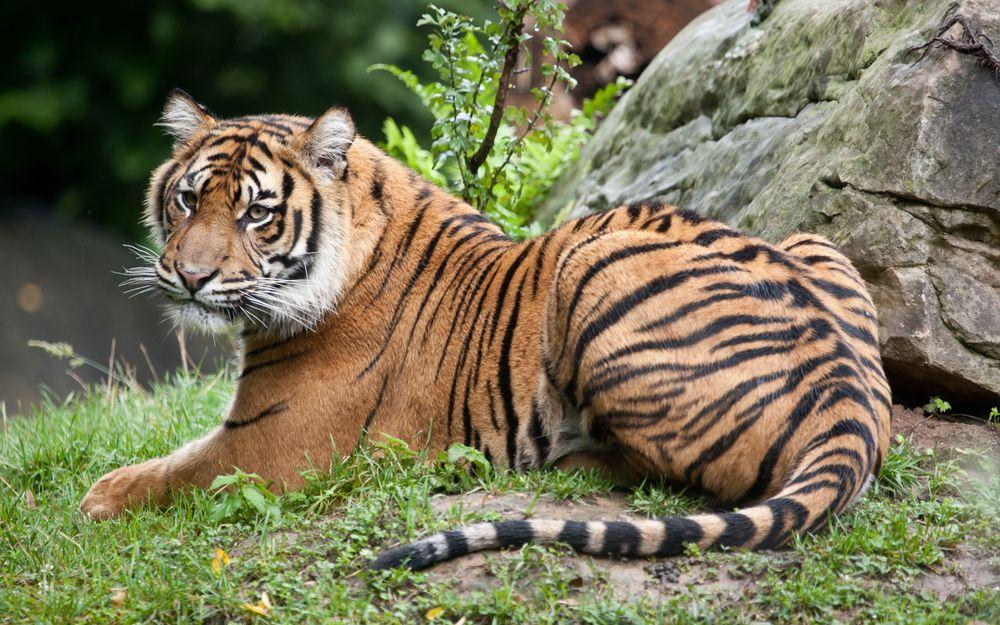 Обои для рабочего стола Тигр отдыхает на природе