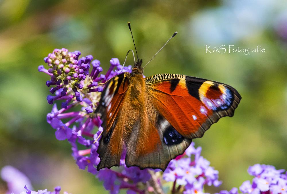 Обои для рабочего стола Яркая бабочка на цветке, фотограф K&S Fotografie
