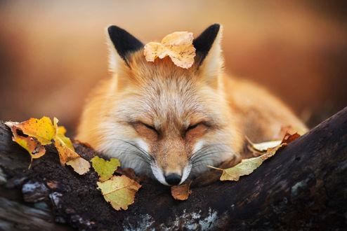 Обои Спящая лиса с осенним листом на голове, фотограф Iza Lyson