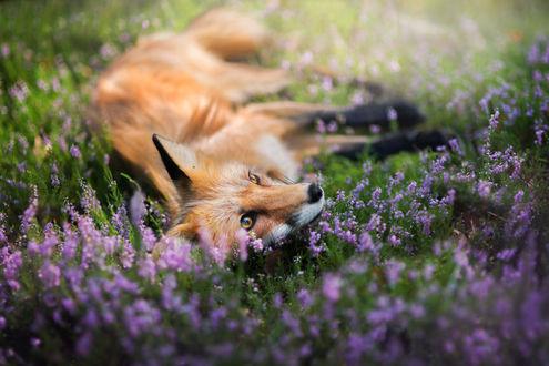 Обои Лиса лежит на поляне с цветами, фотограф Iza Lyson