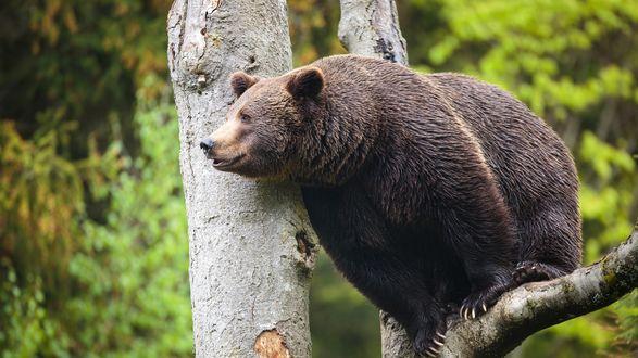 Обои Бурый медведь на дереве