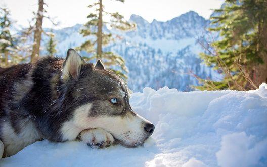 Обои Хаски лежит на снегу, на фоне елей и горных вершин