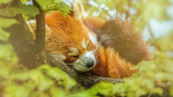 Обои Панда спит на дереве