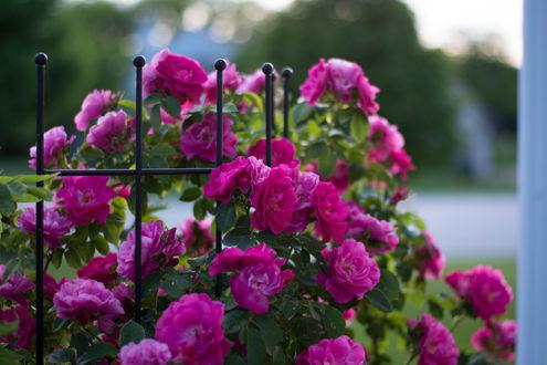 Обои Розовые розы у ограды, фотограф Julie Jablonski