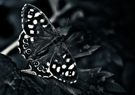 Обои Бабочка на листе, by schafsheep