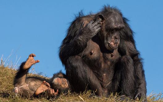 Обои Мама шимпанзе рядом со своим детенышем