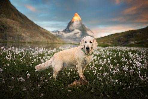 Обои Пес породы золотистый ретривер на цветочном лугу, фотограф Iza Lyson