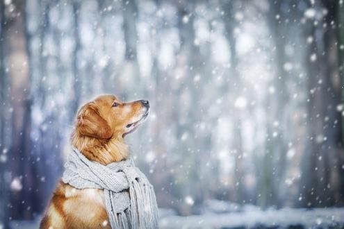 Обои Собака породы золотистый ретривер в шарфе под падающим снегом, фотограф Veronika Kozubkovа