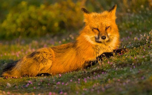 Обои Рыжий лис, лежа на травке, греется в последних скудных лучах осеннего солнышка, фотограф Tony Joyce