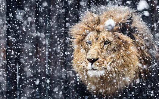 Обои Лев под падающим снегом