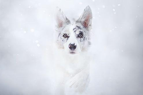Обои Собака породы австралийская овчарка под падающим снегом, фотограф Alicja ZmysЕ'owska