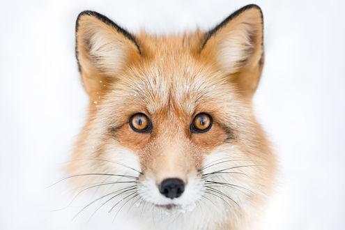 Обои Портрет рыжей лисы, фотограф Alicja ZmysЕ'owska